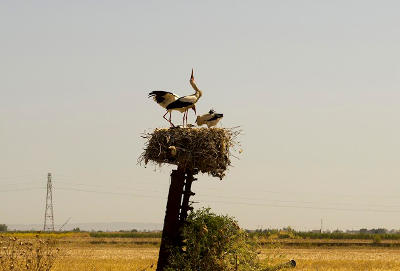 A stork nest with tagged juveniles in Tunisia.