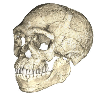 A composite reconstruction of the earliest known Homo sapiens fossils from Jebel Irhoud (Morocco). Dated to 300 thousand years ago these early Homo sapiens already have a modern-looking face that falls within the variation of humans living today.