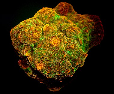 The proteins that give some species of corals their fluorescence also help them continue photosynthesis even when light is low.