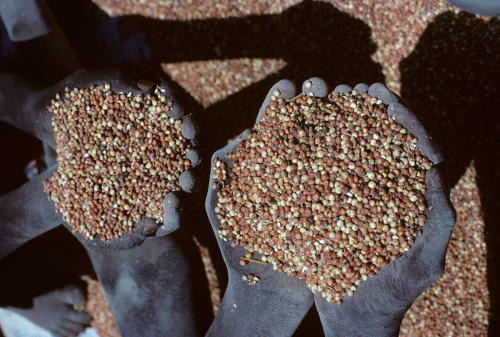 Sudanese hands holding sorghum.