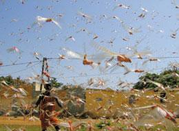 Officials are trying to avoid a repeat of the 2004 locust swarm in Senegal and other parts of Africa.