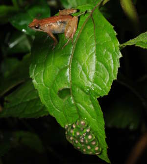 New York University Abu Dhabi researchers have discovered a new species of puddle frog on a mountain in southwestern Ethiopia.