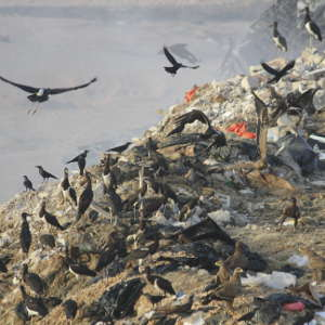 Globally endangered Steppe eagles (Aquila nipalensis), Abdim's stork (Cincona abdimii), and House crows (Corvus splendens) feeding at a waste disposal site. Collectively, avian scavengers consume large amounts of waste.