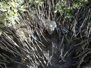 Mangrove plant aerial roots and branches trap plastic, which fragments into smaller particles and eventually deposits in the sediment.