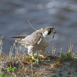Satellite-tagged peregrine in Taimyr, Russia.