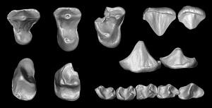 A 3D reconstruction of the isolated upper and lower teeth of the 37 million-year-old primate  Nosmips