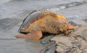 Dozens of dead turtles have washed up on the shore of Lake Bardawil.