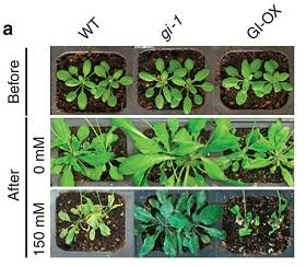 The plant mutant with the deleted flowering gene in the middle column showed increased salt tolerance.