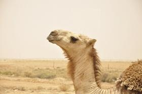 The Arbian camel has some very unique characteristics that scientists hope to understand with the genome sequence in hand.