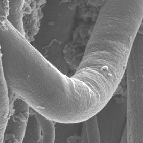 Scanning Electron Microscope image of a coated spider silk fibre.