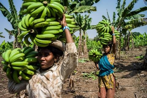 Banana plantations are at risk from a disease known as Fusarium wilt.