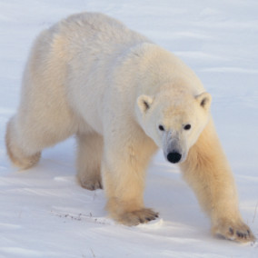 Polar bears diverged from brown bears more rapidly than initially thought - Research Highlights - Nature Middle East