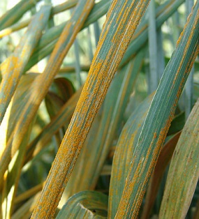Combating wheat stripe rust essential for region's food security - Features - Nature Middle East